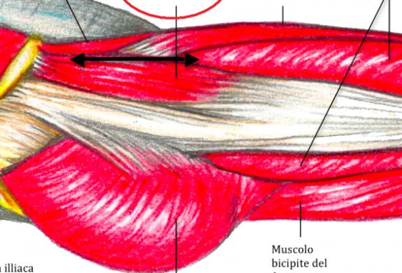 Anatomia – Muscoli dell'anca (seconda parte)