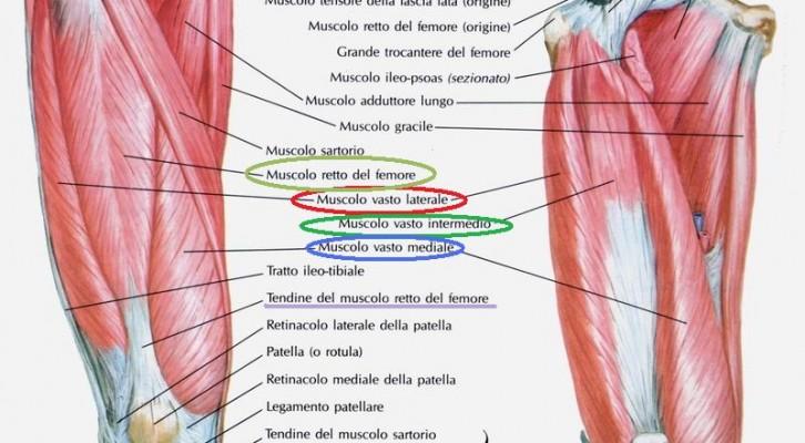 Anatomia muscoli della coscia prima parte gruppo for Esterno quadricipite