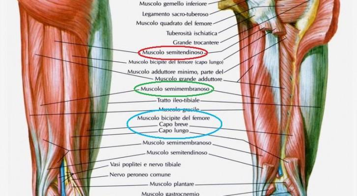 Anatomia muscoli della coscia terza parte gruppo for Muscolo interno coscia nome
